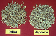 Populations of Rice - Indica and Japonica