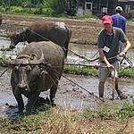 Plowing with Water Buffalo